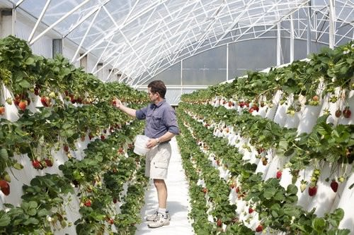 Ricardoes Tomatoes, strawberry Picking, hot houses-2