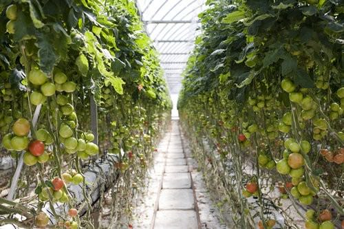 Ricardoes Tomatoes, strawberry Picking, hot houses