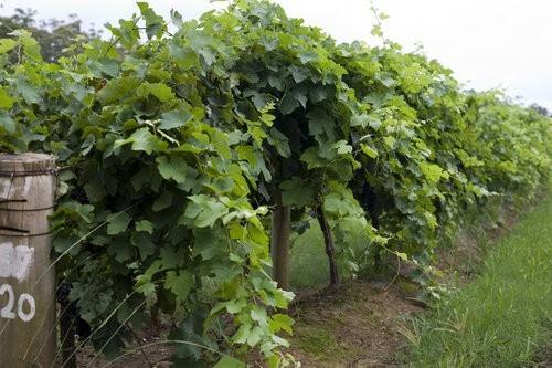 Vineyards Lake Innes Wines Port Macquarie