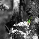 Butterfly on Sarah Island