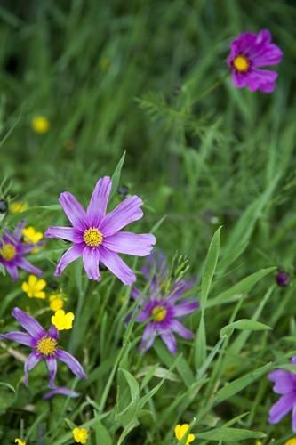 Hobbiton Purple Flowers in the grass
