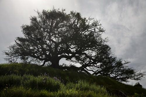 Hobbiton Silhouetted Tree