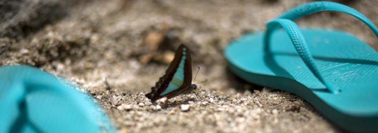 Ulysses butterfly at Mosman Gorge