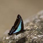 Ulysses Butterfly on a rock
