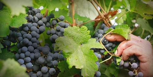 St Halletts Vineyard - Grape Image