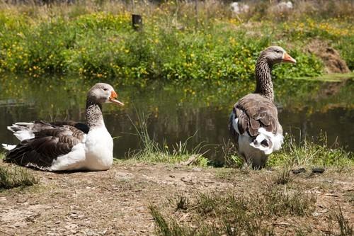 Geese at Salmon Farm
