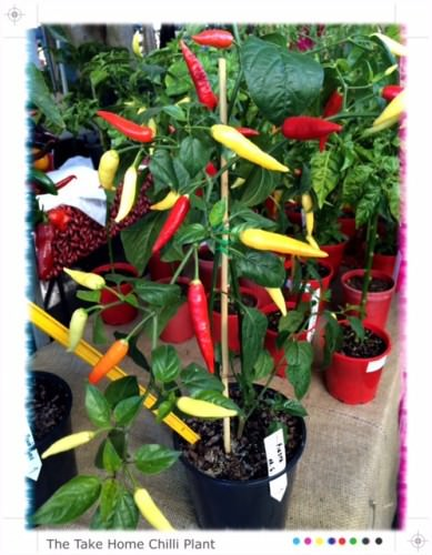 Chilli Plant @ Sawtell Chilli Festival
