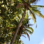 Coconut Trees on the Beach