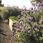 Kitchen Garden - Lavander