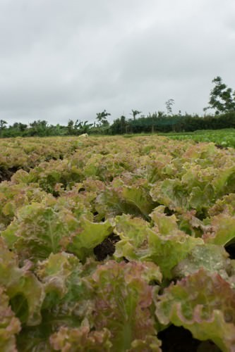 Red Sail Lettuce
