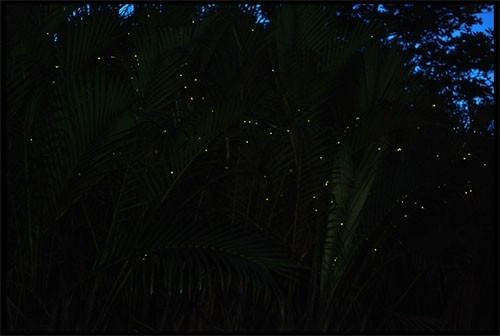 fireflywatching-MAGPalawanTours