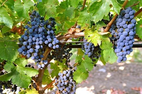 Top 5 Australian Vineyards - SA