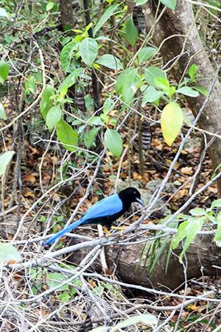 Beautiful Blue Bird at Tulum