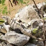 Tulum Iguana Mexico