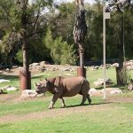 Black Rhino and Baby Taronga Western Plain Zoo