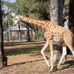 Giraffe Taronga Western Plain Zoo