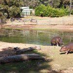 Hippopotamus Western Plain Zoo