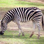 Zebra Taronga Western Plain Zoo