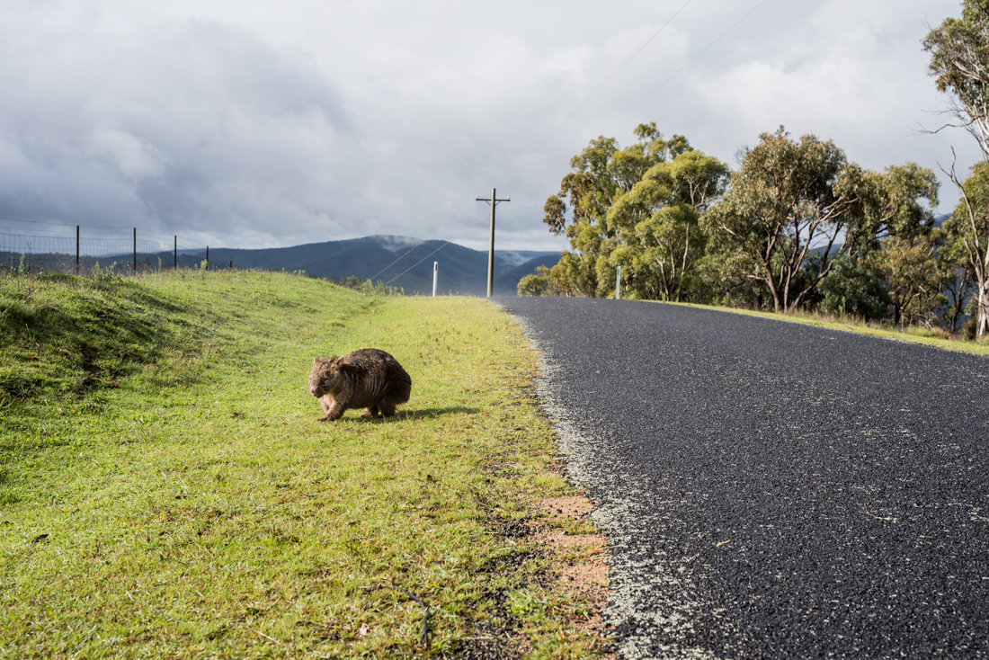 Wombats Cross Here