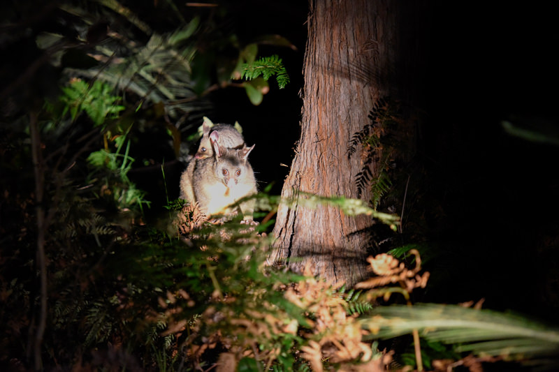 Brush tail possum and its baby at night