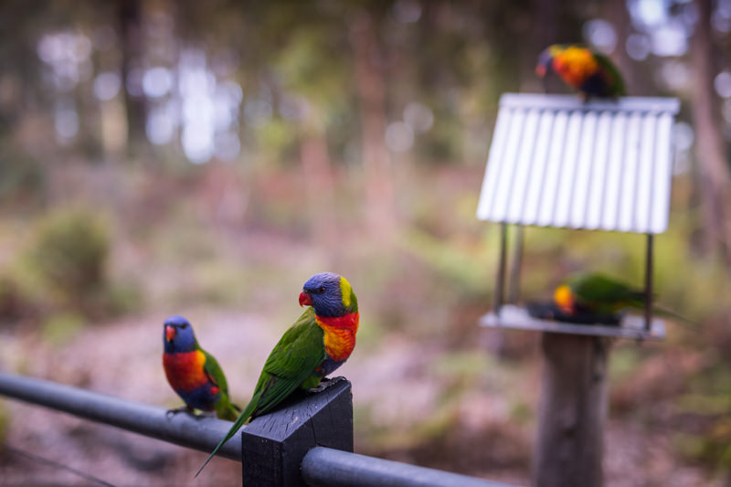 Rainbow Lorikeets at your cabin